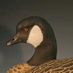 Cackling Canada Goose Decoy 3