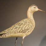 Longbilled Curlew1