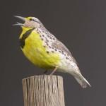 Western Meadowlark1